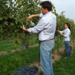 vendemmia uve biologiche Le Carline