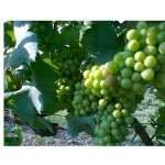 invaiatura-PINOT-GRIGIO-news
