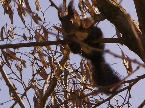 Ambiente naturale a Corbolone: scoiattolo ripreso lungo la Riviera di Corbolone