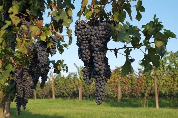 Uva nera per il vino rosso, ma sempre da agricoltura biologica