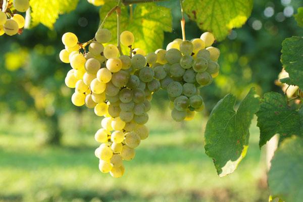 Uva bianca per vini bianchi e spumanti, ma sempre agricoltura biologica certificata