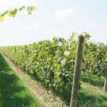 vigneto vini biologici Le Carline