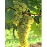 vino biologico e benessere